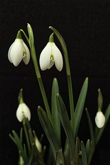 Photo of Galanthus nivalis 'Flore Pleno'