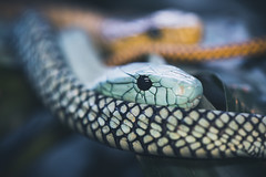 Mamba (michel1276) Tags: mamba grünemamba schlange snake terrazoo animal tier tiere reptilien reptile reptil reptiles olympus zuiko zuikomacro9020 kingzuiko