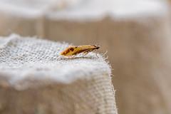 28.015 - Batia lunaris (Derek.P.) Tags: invert insect moth nature natural wild motten mites falene polillas traças 飞蛾 飛蛾 蛾 мотыльки insekten insectes insetti insectos insetos 昆虫 昆蟲 насекомое