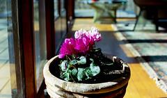 flowers (bluebird87) Tags: house flowers lightroom epson v800 kodak ektar nikon f4s