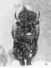 Through the Blizzard (Glatz Nature Photography) Tags: glatznaturephotography nature nikond850 northamerica usa unitedstatesofamerica wildanimal wildlife winter yellowstonenationalpark snow blizzard eyecontact bison bisonbison westyellowstone