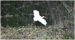 Sawgrass Lake Park - St Petersburg, Florida (lagergrenjan) Tags: sawgrass lake park st petersburg florida bird