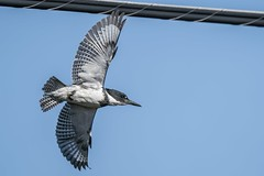 Belted Kingfisher (Male) (Richard 369) Tags: kingfisher bird birding