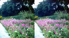 Batch G 0169 (dizzygum) Tags: vintage 3d stereo slide image 1959 flowers