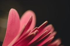 ruffled (hey ~ it's me lea) Tags: daisy gerberadaisy flower petals pink