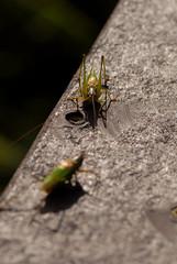 Hello, my name is Ingio Montoya (rdodson76) Tags: grasshopper bug insect entomology macro biology nature wildlife pests railing handrail two couple
