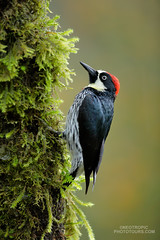 Acorn Woodpecker (www.NeotropicPhotoTours.com) Tags: juancarlosvindasphotography juancarlosvindas birdphotography birding birdwatching naturephotography bird neotropicphototours costarica ecuador nature wildlife outdoors green art trees new macro flowers tree sky animal rainforest canongear daytime day phototour beautyinnature southamerica avian aves acornwoodpecker melanerpes formicivorus