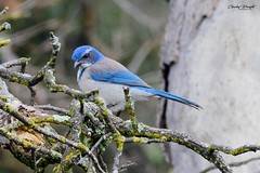 A very grumpy looking looking California Scrub (please correct me if I am wrong!). (charleywraightphotography) Tags: bird animal jay wildlife beak wild tree nature outdoors branch sitting little outdoor eating bluejay perched bluebird vertebrate mountainbluebird perchingbird noperson blue small birdwatching scrub easternbluebird roseville