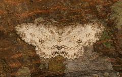Geometrid Moth (Hypomecis sp., Ennominae, Geometridae) (John Horstman (itchydogimages, SINOBUG)) Tags: insect macro china yunnan itchydogimages sinobug entomology canon ennominae geometridae moth lepidoptera