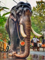 Pambadi Rajan, Considered as the most handsome elephant In Kerala. A shot from his daily bathing routine. (kishore.sreenivasan04) Tags: wildlife wild elephant temple india ketala festivals mobilephotography mobilephoto elephants tradition traditional travel traveler oneplus7pro oneplus postcard bnwphotography bnw
