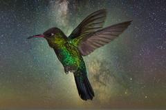 Out Late (gecko47) Tags: animal bird hummingbird fierythroatedhummingbird panterpeinsignis flight multiflash costarica backgroundreplacement milkyway luminar4 trochilidae paraisoquetzallodge canon1dmkiv
