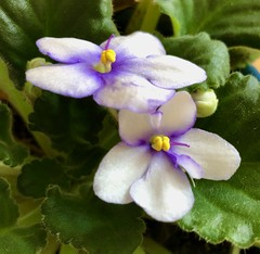 African violets (Shotaku) Tags: houseplants flower plant blooms blooming indoors white flowering closeup