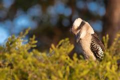 Curiosity (TonyinAus) Tags: bird australia curiosity