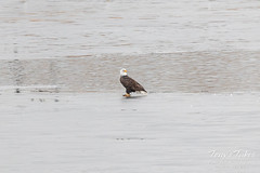 January 21, 2020 - A bald eagle hangs out on the ice of pond in Thornton. (Tony's Takes)