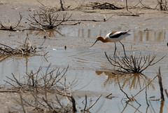 Recurvirostra americana (rdodson76) Tags: recurvirostraamericana americanavocet avocet bird ornithology birding birdwatching nature wildlife landscape wetlands shallow water outdoor outside habitat environment climate brown animal wildliferefuge mudflat foraging hunting species