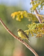 Lesser Finch (http://fineartamerica.com/profiles/robert-bales.ht) Tags: arizona birds foothills forupload goldfinch haybales people photo places states