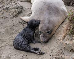 Baby Elephant Seal was grateful to reunite with mamma... (photosbymk) Tags: elephant seal elephantsealpup pup