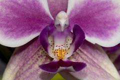 Orchid of the Usual Kind (armct) Tags: orchid domestic indoor cultivar plant flower phalaenopsisamabilis common usual popular closeup micro macro structure shape purple gold white