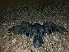 Vulture Down (phthaloblu) Tags: backyard home dead vulture