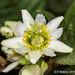 2015-04-17 TEC-4779 Passiflora biflora - E.P. Mallory