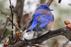 "Western Blue Bird (I think) saying ""Whatsss Up...."" (charleywraightphotography) Tags: bird animal beak bluebird branch wildlife jay tree little plant songbird eating nature easternbluebird outdoor noperson sitting outdoors perched bluejay birdwatching mountainbluebird finch wild small winter perchingbird colorful beeeater twig piece canary avian organism black photography ornithology indigobunting standing cardinal oldworldflycatcher fruit pollen wood feather brown wren roller colored head"