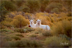 A Rare Encounter: Spotting White Lions in the Wild (RudyMareelPhotography) Tags: africa lion mammal reserve safari sanbona white wild wilderness sanbonawildlifereserve whitelions rudymareelphotography southafrica flickrclickx flickr