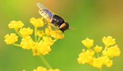soldier fly (Odontomyia virgo group) male at Chipera Prairie IA 653A1447 (naturalist@winneshiekwild.com) Tags: soldier fly odonomyia virgo group chipera prairie winneshiek county iowa larry reis
