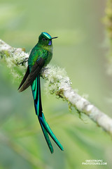 Long-tailed Sylph (www.NeotropicPhotoTours.com) Tags: juancarlosvindasphotography juancarlosvindas birdphotography birding birdwatching naturephotography bird neotropicphototours costarica ecuador nature wildlife outdoors green art trees new macro flowers tree sky animal rainforest canongear daytime day phototour beautyinnature southamerica avian aves longtailedsylph