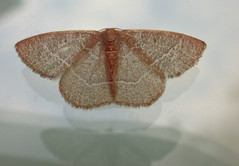 Wings and reflections (cotinis) Tags: insect moth lepidoptera geometridae geometrinae nemoria nemoriabistriaria redfringedemerald northcarolina piedmont wingwednesday inaturalist bmna nc april