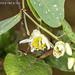 2015-04-17 TEC-4772 Passiflora biflora - E.P. Mallory