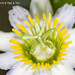 2015-04-17 TEC-4773 Passiflora biflora - E.P. Mallory