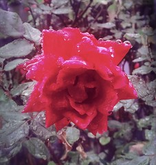 Rose in the Rain (woody lauland) Tags: austin texas austintx atx tx rose rain hipstamatic hipstaprint