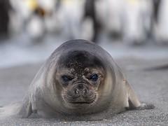 0EB96B0D-10E2-This is MY beach! 4CBB-944A-3AAD4CBDD1E3 (Ted Smith 574) Tags: elephant seal