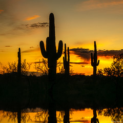Desert Reflections (Ken Mickel) Tags: arizona cacti cactus desert estrellla goodyeararizona kenmickelphotography landscape outdoors plants reflections saguaro sky sunsets backlighting nature photography silhouette silhouettes sunset goodyear unitedstatesofamerica