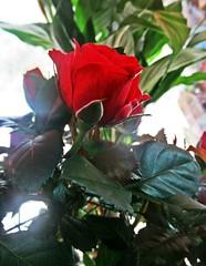 Роза (lvv1937) Tags: sunsetslandscapesandflowers flickrinfullcolor beautifullight photography coloursofflickr ilovenature роза