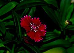 Dianthus (Dreaming of the Sea) Tags: nikond5500 nikkor nikkor18200mm flowerscolors lookingcloseonfriday redflower greenleaves macro winterflower winterflora