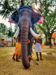 Pambadi Rajan - Another pic of the most handsome elephant In Kerala (kishore.sreenivasan04) Tags: wild wildlife elephant elephants keralatourism keralagodsowncountry kerala india indiaclicks indianphotography