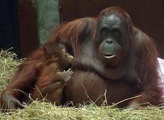 borneo orangutan Tjintha and Minggu Ouwehand BB2A0685 (j.a.kok) Tags: animal aap asia azie ape borneoorangutan borneoorangoetan borneo mammal monkey mensaap primate primaat orangutan ouwehands orangoetan ouwehand orang zoogdier dier tjintha minggu motherandchild moederenkind