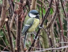 Great tit (Parus major) (ruedigerdr49) Tags: tit bird nature wildlife outdoor kohlmeise vogel oiseau ucello