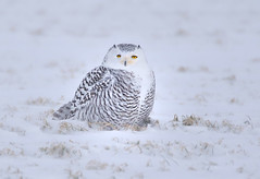 Snowy Owl (ashockenberry) Tags: wildlife wild wildlifephotography wilderness wings white exotic ecosystem reserve travel tourism snowy owl beautiful nature naturephotography natural native northern landscape light ontariowildlife ontarionature canada field habitat ashleyhockenberryphotography