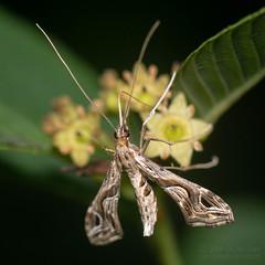 Plume Moth (jciv) Tags: moth insect plumemoth file:name=dsc09614 macro