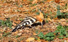 Abubilla (Upupa epops)  IMG_1494 (Julian Munilla Rio) Tags: ave pajaro