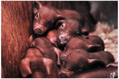 Hello, we are new here (Johannes Haupt) Tags: pig tibetanpig birth piglet child mother pet cute spring schwein tibetschwein geburt ferkel kind mutter haustier niedlich frühling
