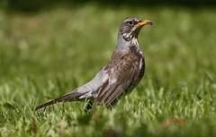 zorzal real (Turdus pilaris) 5204 (Julian Munilla Rio) Tags: ave pajaro tordo