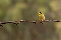 yellow tufted honeyeater (crispiks) Tags: nikon d500 300mm f4