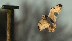 Owl 1 - You're cleared for Landing (Ann and Chris) Tags: shortearedowl shorteared owl landing flying beautiful eyes stunning impressive wings wildlife