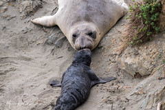Mamma Elephant Seal was quickly relieved when she found her baby just over a mound of sand... (photosbymk) Tags: elephant seal elephantsealpup pup