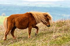 Mountain pony (technodean2000) Tags: mountain pony horse south wales uk ©technodean2000 welsh nikon d810 lightroom photographer technodean2000 lr ps photoshop nik collection flick photo flickr wwwflickrcomphotostechnodean2000 www500pxcomtechnodean2000