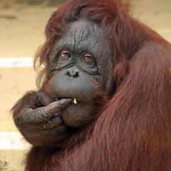 Borneo orangutan Anak Ouwehand BB2A0619 (j.a.kok) Tags: animal aap asia azie ape borneoorangutan borneoorangoetan borneo mammal monkey mensaap primate primaat orangutan ouwehands orangoetan ouwehand orang zoogdier dier anak