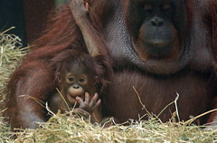 borneo orangutan Tjintha and Minggu Ouwehand BB2A0672 (j.a.kok) Tags: animal aap asia azie ape borneoorangutan borneoorangoetan borneo mammal monkey mensaap primate primaat orangutan ouwehands orangoetan ouwehand orang zoogdier dier tjintha minggu motherandchild moederenkind